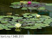 Купить «Кувшинка, или водяная лилия. Дендрарий города Сочи», фото № 348311, снято 3 июля 2008 г. (c) Федор Королевский / Фотобанк Лори
