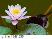 Купить «Кувшинка или водяная лилия.Дендрарий города Сочи.», фото № 348355, снято 3 июля 2008 г. (c) Федор Королевский / Фотобанк Лори