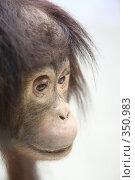 Купить «Шимпанзе», фото № 350983, снято 19 октября 2018 г. (c) Losevsky Pavel / Фотобанк Лори