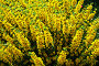 Lysimachia punctata (вербейник садовый), фото № 355047, снято 12 марта 2005 г. (c) Ольга Дроздова / Фотобанк Лори