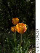 Купить «Тюльпаны», фото № 356527, снято 26 апреля 2008 г. (c) Coler / Фотобанк Лори