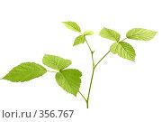 Купить «Веточка с зелеными листьями», фото № 356767, снято 14 ноября 2018 г. (c) Олег / Фотобанк Лори