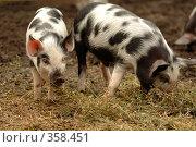 Купить «Свиньи», фото № 358451, снято 16 августа 2018 г. (c) Олег / Фотобанк Лори