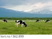 Купить «Стадо коров пасется на лугу у подножия вулкана», фото № 362899, снято 24 июня 2008 г. (c) Ирина Игумнова / Фотобанк Лори