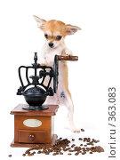 Купить «Щенок чихуахуа с кофемолкой в студии», фото № 363083, снято 4 июня 2008 г. (c) Vladimir Suponev / Фотобанк Лори
