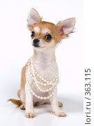 Купить «Щенок чихуахуа с ожерельем», фото № 363115, снято 4 июня 2008 г. (c) Vladimir Suponev / Фотобанк Лори
