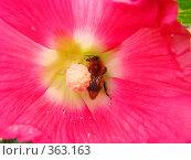 Купить «Шмель собирает нектар», фото № 363163, снято 11 июля 2008 г. (c) Марат Кабиров / Фотобанк Лори
