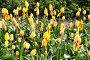 Жёлтые тюльпаны, эксклюзивное фото № 364751, снято 24 апреля 2008 г. (c) Дмитрий Неумоин / Фотобанк Лори
