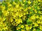 Вербейник (Lysimachia), эксклюзивное фото № 365015, снято 13 июля 2008 г. (c) lana1501 / Фотобанк Лори