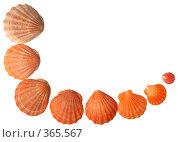 Купить «Морские раковины», фото № 365567, снято 1 мая 2008 г. (c) Pshenichka / Фотобанк Лори