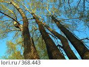 Купить «Высокие тополя», фото № 368443, снято 4 мая 2008 г. (c) Михаил Коханчиков / Фотобанк Лори