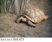 Купить «Большая галапагосская черепаха (Geochelone nigra)», фото № 368471, снято 3 июля 2008 г. (c) Михаил Крекин / Фотобанк Лори