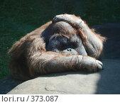 Купить «Орангутан в Московском зоопарке», фото № 373087, снято 26 июля 2008 г. (c) E. O. / Фотобанк Лори