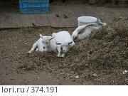Козы отдыхают (2008 год). Редакционное фото, фотограф Алексей Юдов / Фотобанк Лори