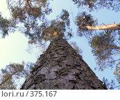 Поднебесные сосны. Стоковое фото, фотограф Дмитрий Кочетков / Фотобанк Лори