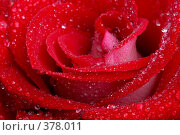 Купить «Роза», фото № 378011, снято 25 июля 2008 г. (c) Pshenichka / Фотобанк Лори