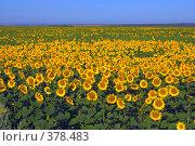 Купить «Поле подсолнухов», фото № 378483, снято 21 июля 2008 г. (c) Лена Лазарева / Фотобанк Лори