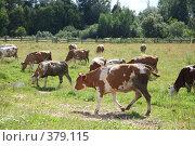 Купить «Коровы», фото № 379115, снято 21 июля 2008 г. (c) sav / Фотобанк Лори