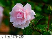 Купить «Роза после дождя», фото № 379655, снято 21 июля 2007 г. (c) Андрей Некрасов / Фотобанк Лори