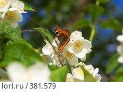 Купить «Бабочка на цветах жасмина», фото № 381579, снято 18 ноября 2018 г. (c) Сергей  Ушаков / Фотобанк Лори