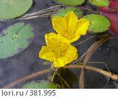 Купить «Болотноцветник щитолистный (Nymphoides peltata) на фоне воды и листьев», эксклюзивное фото № 381995, снято 1 августа 2008 г. (c) lana1501 / Фотобанк Лори