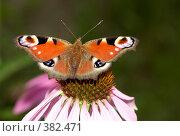 Купить «Бабочка на цветке эхинацеи», фото № 382471, снято 25 июля 2008 г. (c) Tyurina Ekaterina / Фотобанк Лори