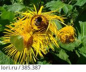 Купить «Желтая бабочка, пчела и шмель на желтых цветах», фото № 385387, снято 26 июля 2008 г. (c) Евгения Лаврова / Фотобанк Лори