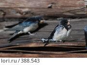 Купить «Птенцы ласточек», фото № 388543, снято 28 июля 2008 г. (c) Нестерова Анна / Фотобанк Лори