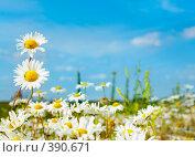 Купить «Ромашки», фото № 390671, снято 24 июля 2008 г. (c) Андрей Армягов / Фотобанк Лори