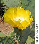 Купить «Цветок кактуса», фото № 391391, снято 24 июля 2006 г. (c) Елена Гордеева / Фотобанк Лори