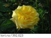 "Купить «Роза чайная ""Ландора""», фото № 392023, снято 6 августа 2008 г. (c) Александр Леденев / Фотобанк Лори"