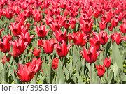 Купить «Поле красных тюльпанов», фото № 395819, снято 26 мая 2008 г. (c) Лилия Барладян / Фотобанк Лори