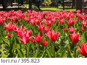 Купить «Поле красных тюльпанов», фото № 395823, снято 26 мая 2008 г. (c) Лилия Барладян / Фотобанк Лори