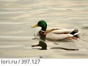 Купить «Уточка плывет по воде», фото № 397127, снято 6 апреля 2008 г. (c) Студзинский Станислав Болиславович / Фотобанк Лори