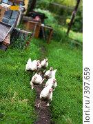 Купить «Цыплята-бройлеры бегут по тропинке в надежде на завтрак», фото № 397659, снято 25 мая 2019 г. (c) Ольга С. / Фотобанк Лори