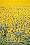 Поле цветущего подсолнечника, фото № 400287, снято 15 июля 2008 г. (c) Татьяна Белова / Фотобанк Лори