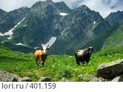 Купить «Коровы. Альпийские луга. Абхазия.», фото № 401159, снято 26 июля 2008 г. (c) Руслан Керимов / Фотобанк Лори