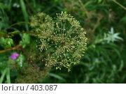 Купить «Сныть трава на зелёном фоне», фото № 403087, снято 14 августа 2008 г. (c) Татьяна Заварина / Фотобанк Лори