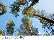 Купить «Карельские сосны. Кроны на фоне синего неба.», эксклюзивное фото № 403467, снято 26 июля 2008 г. (c) Александр Щепин / Фотобанк Лори