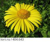 Купить «Дороникум подорожниковый - Doronicum plantagineum», фото № 404643, снято 21 июня 2008 г. (c) Беляева Наталья / Фотобанк Лори