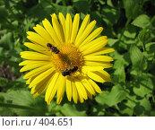 Купить «Дороникум подорожниковый - Doronicum plantagineum», фото № 404651, снято 17 июня 2008 г. (c) Беляева Наталья / Фотобанк Лори