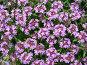 Чабрец, фото № 405139, снято 30 мая 2008 г. (c) Осиев Антон / Фотобанк Лори
