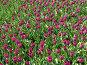 Тюльпаны. Фон, фото № 412151, снято 5 мая 2006 г. (c) A Челмодеев / Фотобанк Лори