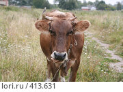 Купить «Однорогая корова показывает язык», фото № 413631, снято 30 июля 2008 г. (c) Голофеева Галина / Фотобанк Лори