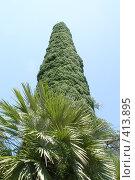 Купить «Пальма и кипарис, растущий в небо», фото № 413895, снято 6 августа 2008 г. (c) Мажугин Алексей / Фотобанк Лори