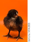 Купить «Черный цыпленок на оранжевом фоне», фото № 414003, снято 19 апреля 2007 г. (c) Василий Вишневский / Фотобанк Лори