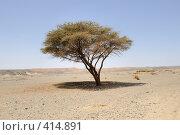 Купить «Зонтичная акация в Аравийской пустыне. Египет», фото № 414891, снято 18 апреля 2008 г. (c) Иванов Аркадий Николаевич / Фотобанк Лори