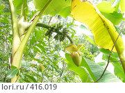 Купить «Цветок банановой пальмы», фото № 416019, снято 15 августа 2008 г. (c) Мажугин Алексей / Фотобанк Лори