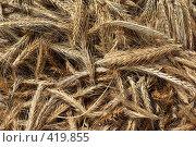 Купить «Колосья ржи», фото № 419855, снято 23 августа 2008 г. (c) Саломатников Владимир / Фотобанк Лори