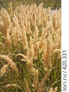 Купить «Метёлки осенней травы», фото № 420331, снято 23 августа 2008 г. (c) Федор Королевский / Фотобанк Лори